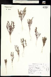 Phacelia glandulifera image