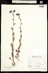 Phacelia grandiflora image