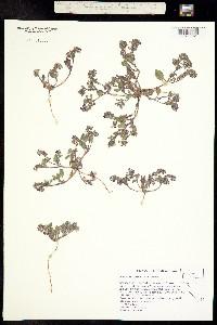 Phacelia gymnoclada image