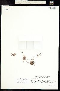 Phacelia tetramera image