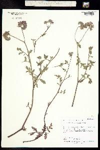 Phacelia vallis-mortae image