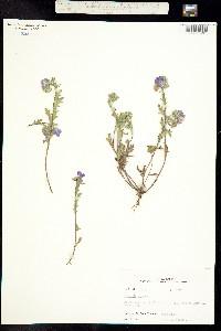 Image of Phacelia hirsuta