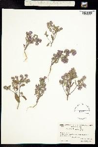 Image of Phacelia humilis