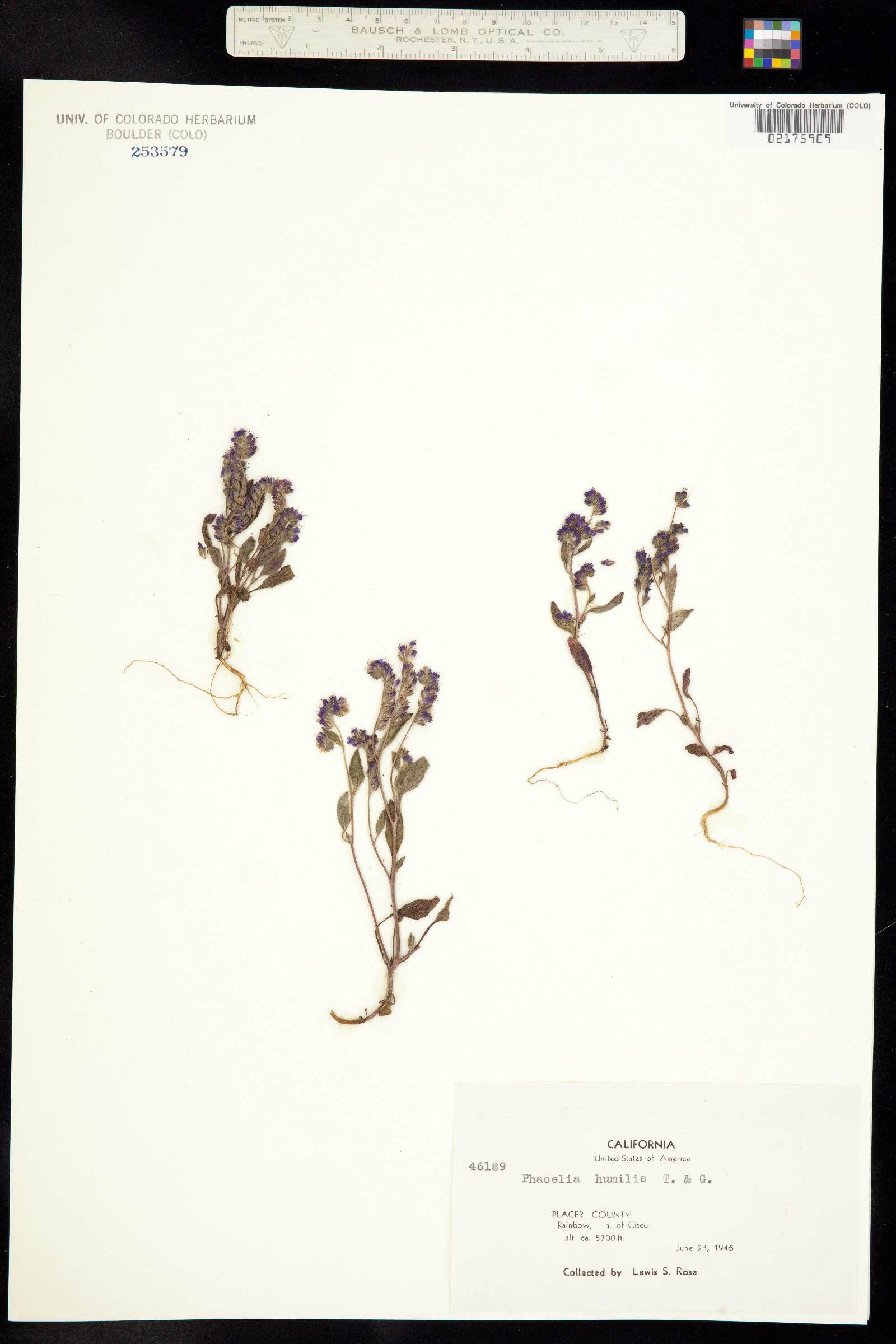 Hydrophyllaceae image