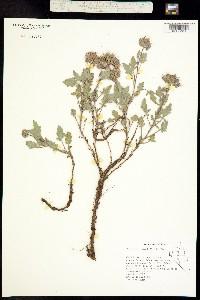 Phacelia hydrophylloides image