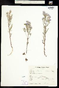 Image of Phacelia idahoensis