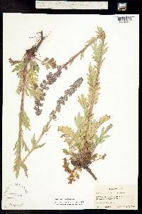 Phacelia idahoensis image