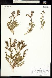 Phacelia coerulea image