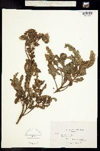 Image of Phacelia ixodes