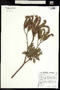 Phacelia ixodes image