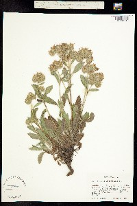 Phacelia leptosepala image