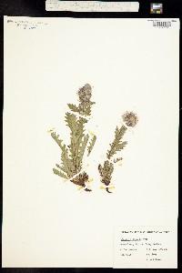 Image of Phacelia lyallii