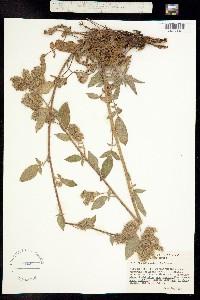 Image of Phacelia mutabilis