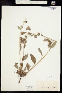 Phacelia mutabilis image