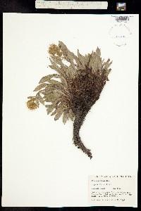 Phacelia nemoralis image