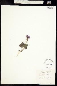 Phacelia pachyphylla image