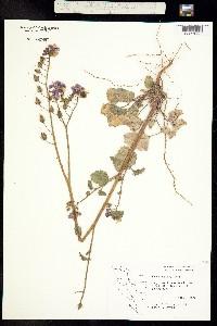 Phacelia parryi image