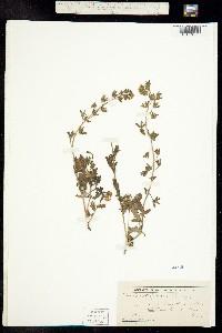 Image of Phacelia patuliflora