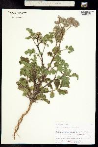 Phacelia pedicellata image
