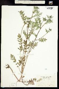 Image of Phacelia purshii