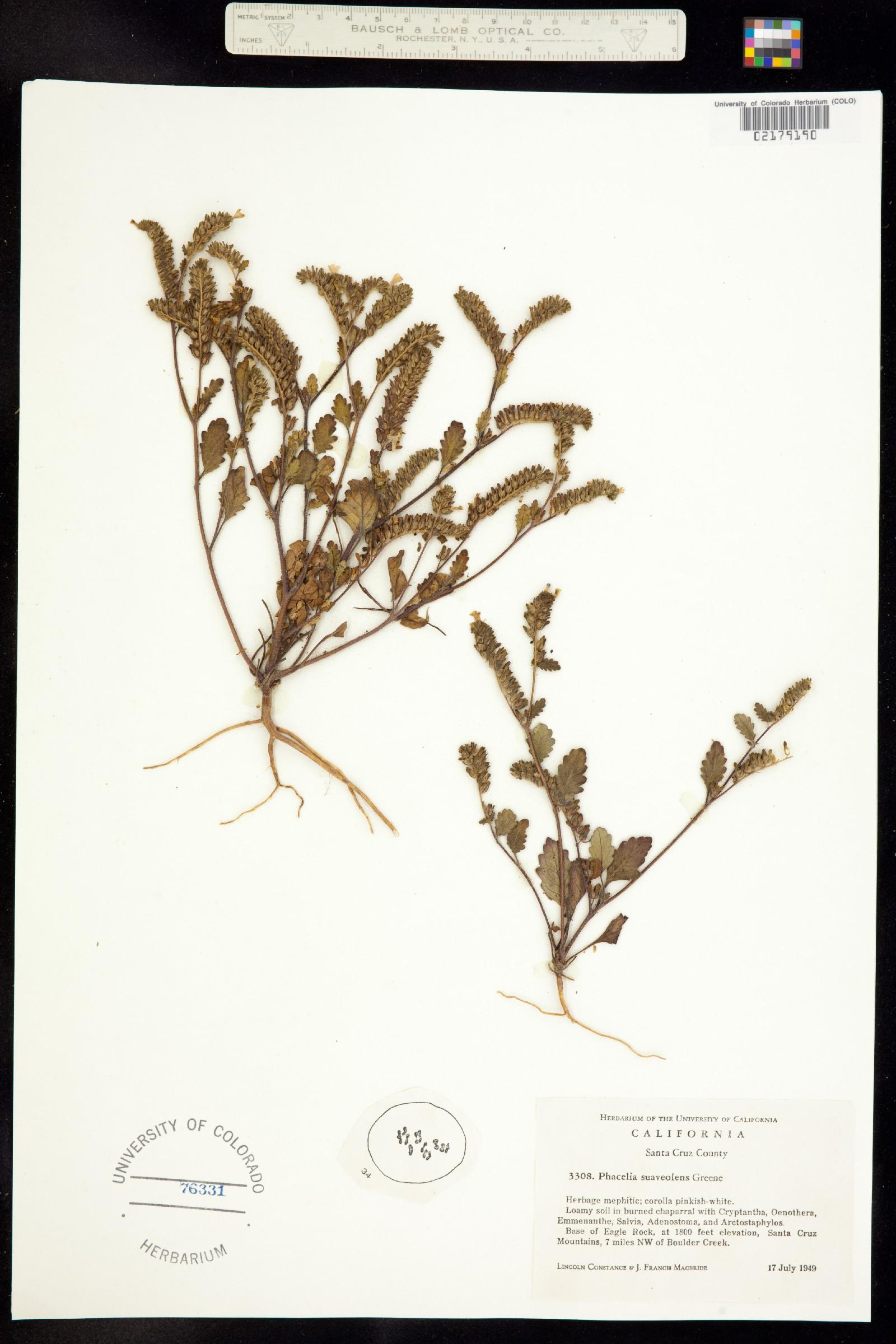 Phacelia suaveolens image