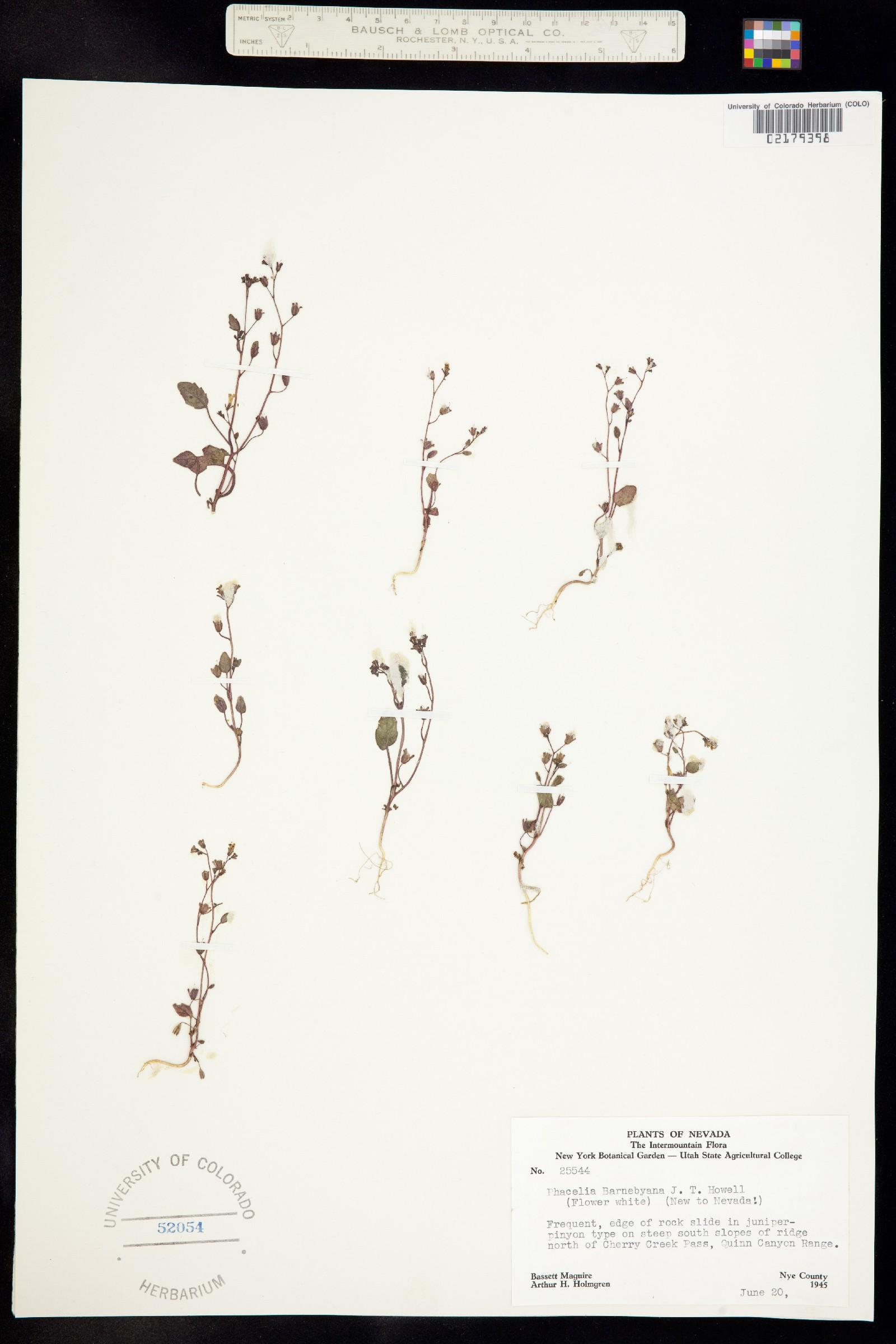 Phacelia barnebyana image