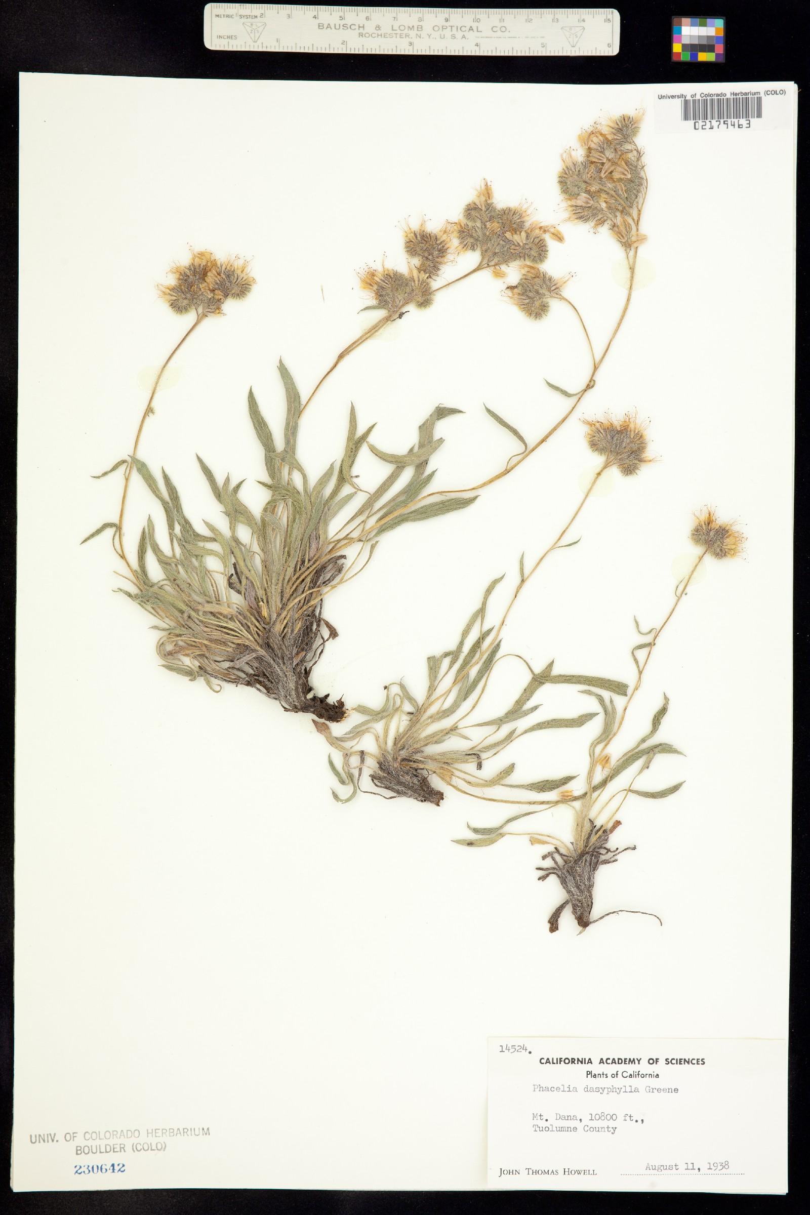 Phacelia hastata var. dasyphylla image