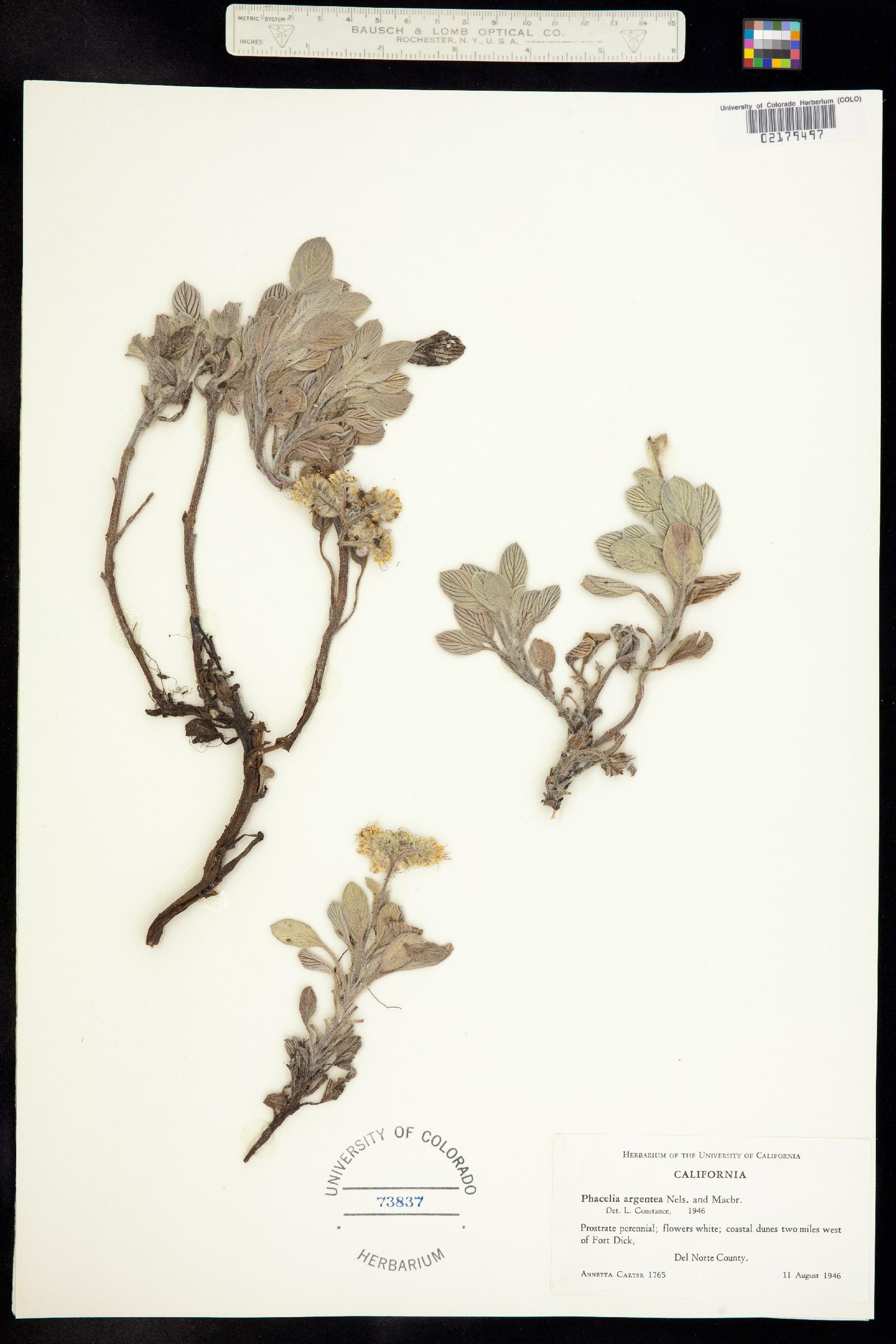 Phacelia argentea image