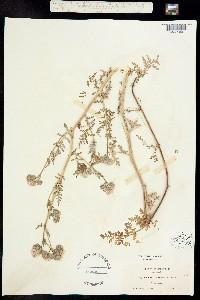 Image of Phacelia ammophila
