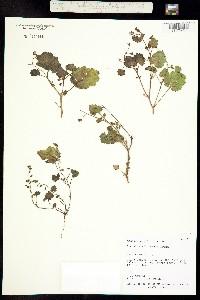 Image of Phacelia filiformis