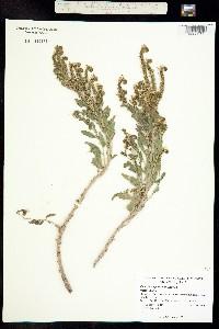 Image of Phacelia hughesii
