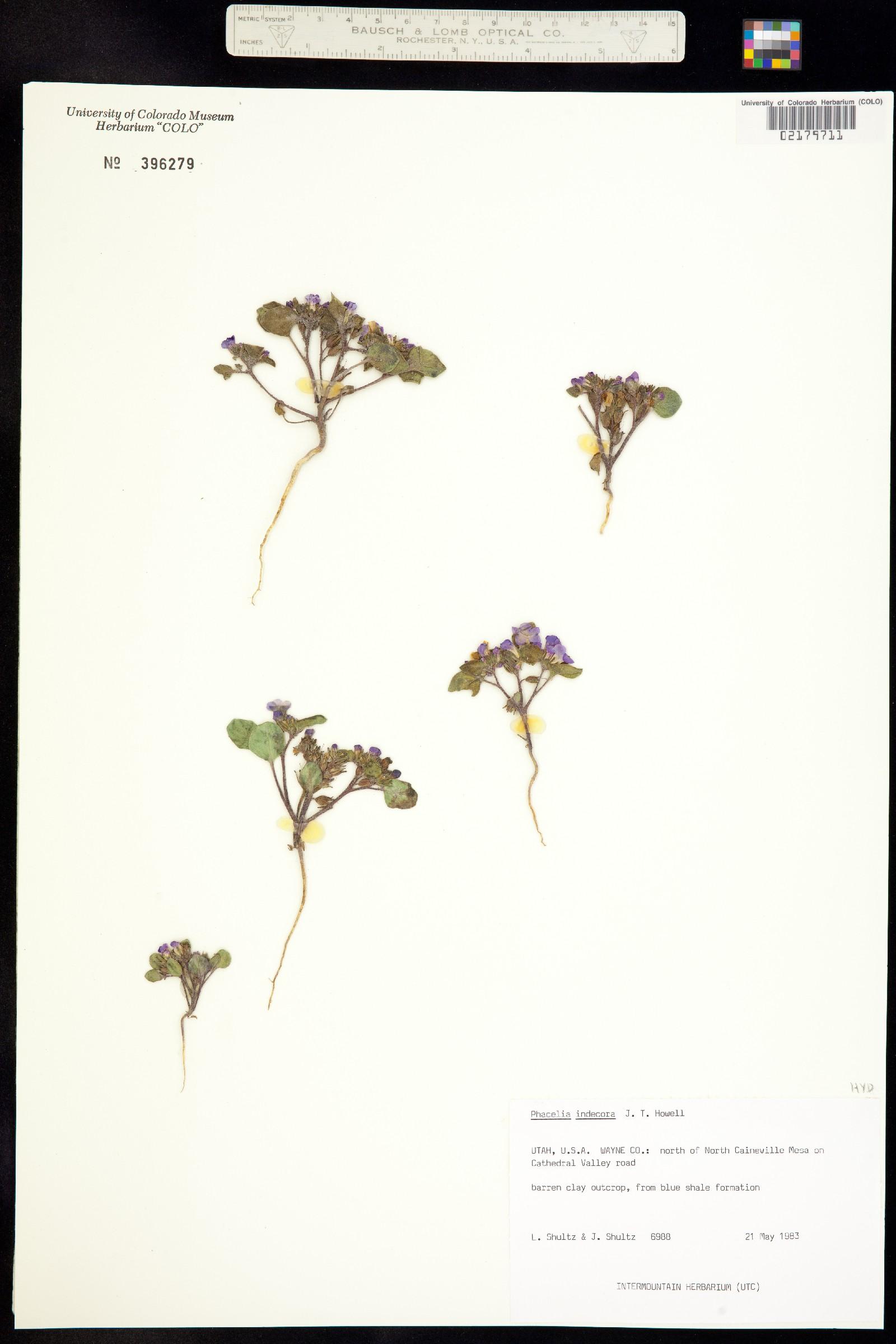 Phacelia indecora image