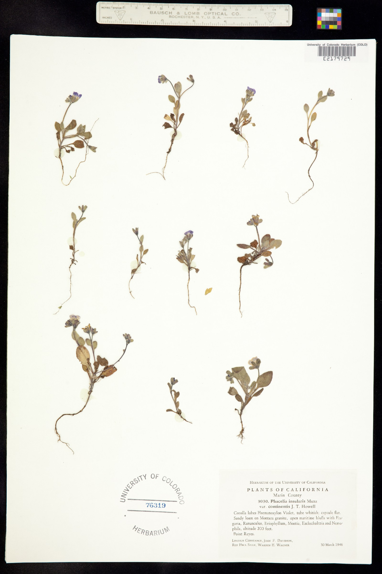 Phacelia insularis var. continentis image