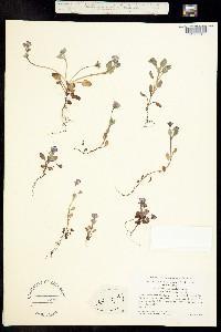 Phacelia insularis image