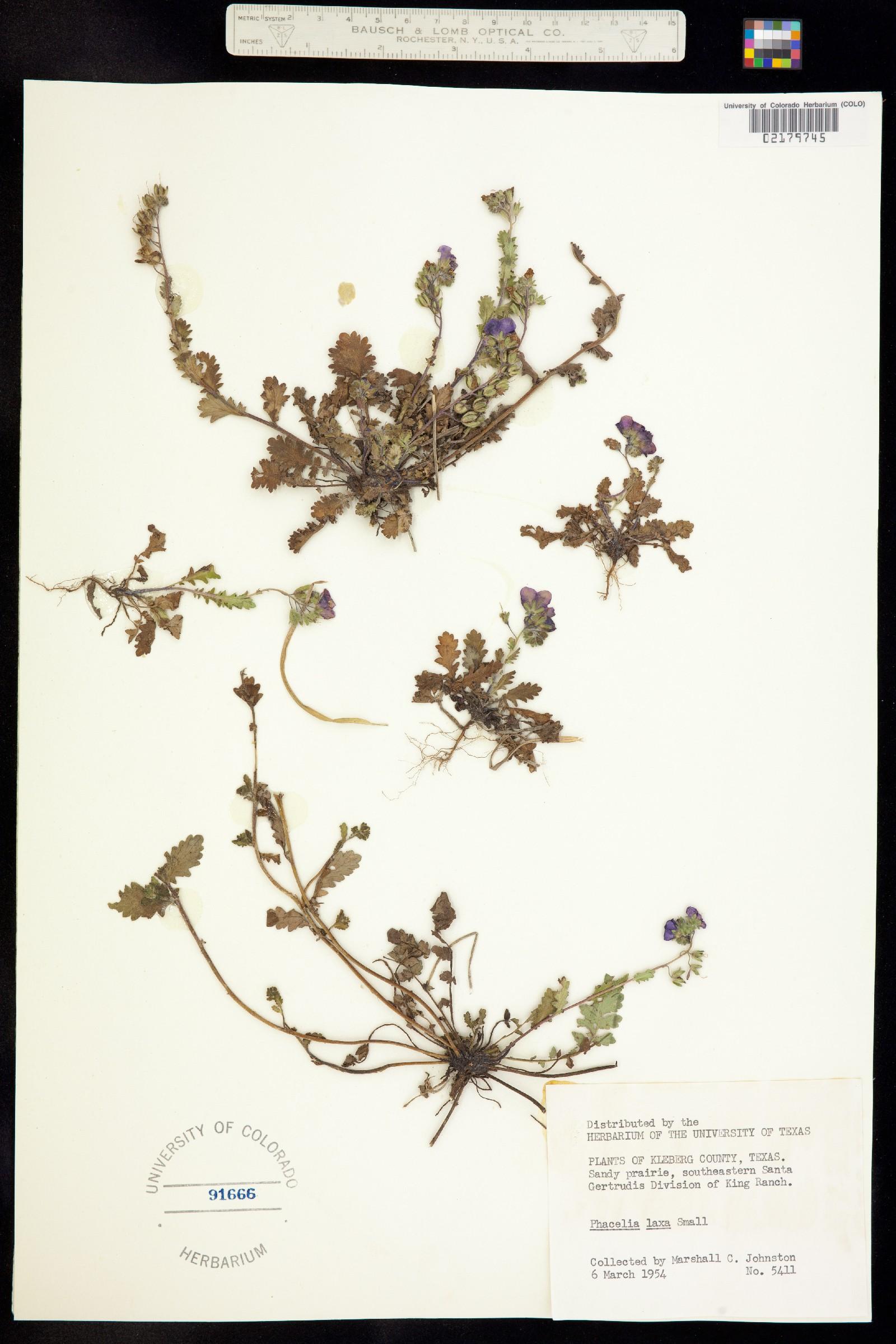 Phacelia laxa image
