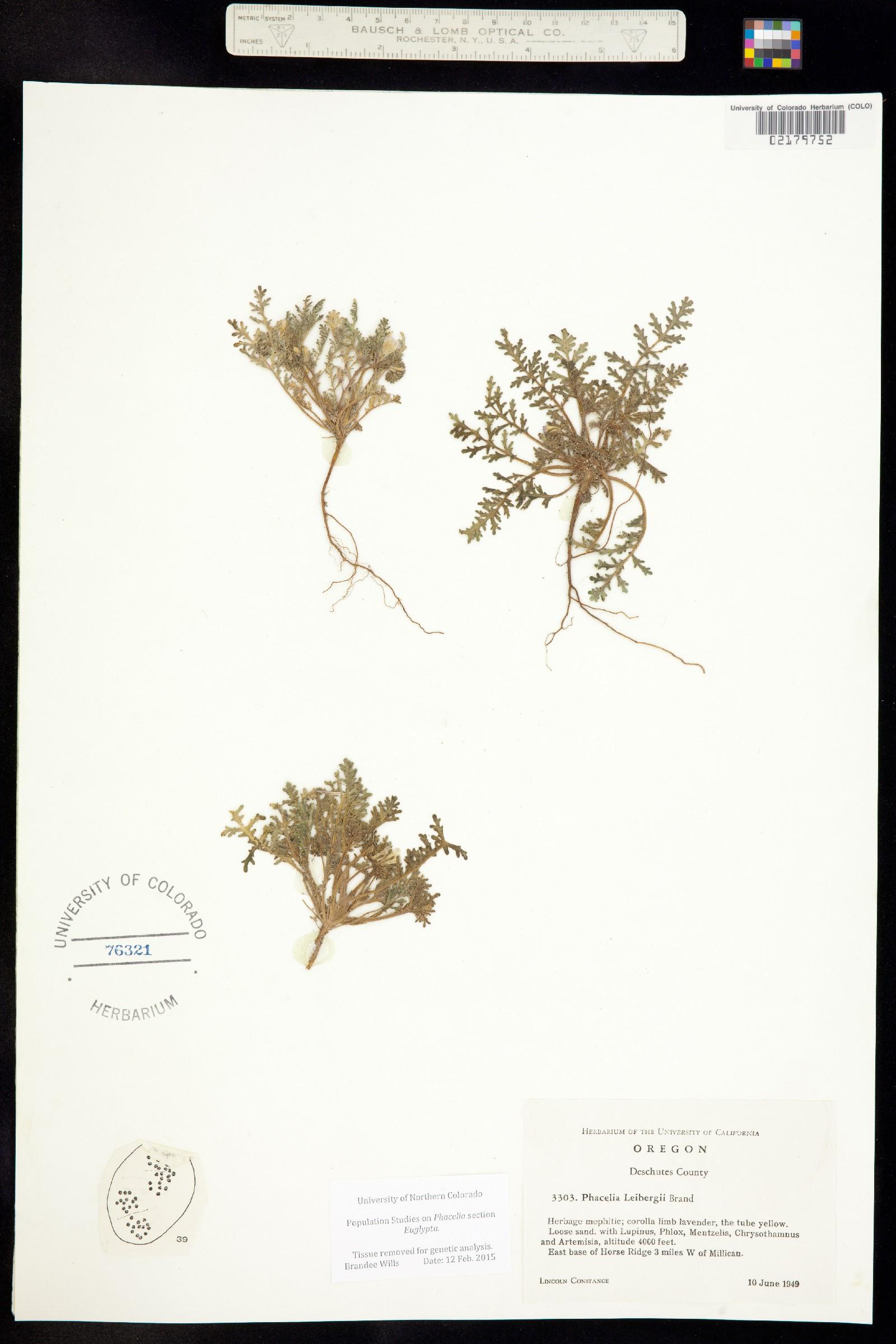 Phacelia leibergii image