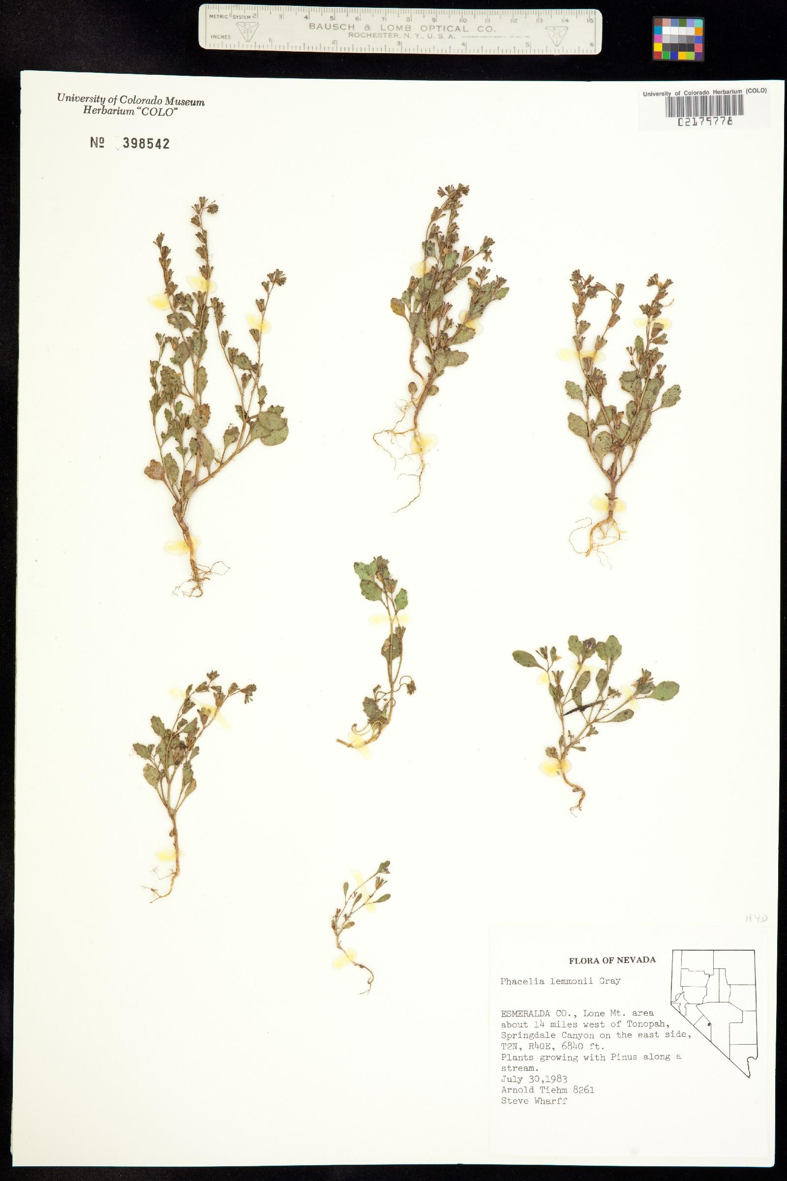 Phacelia lemmonii image