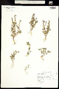 Image of Phacelia lemmonii