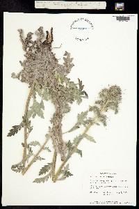 Phacelia mollis image