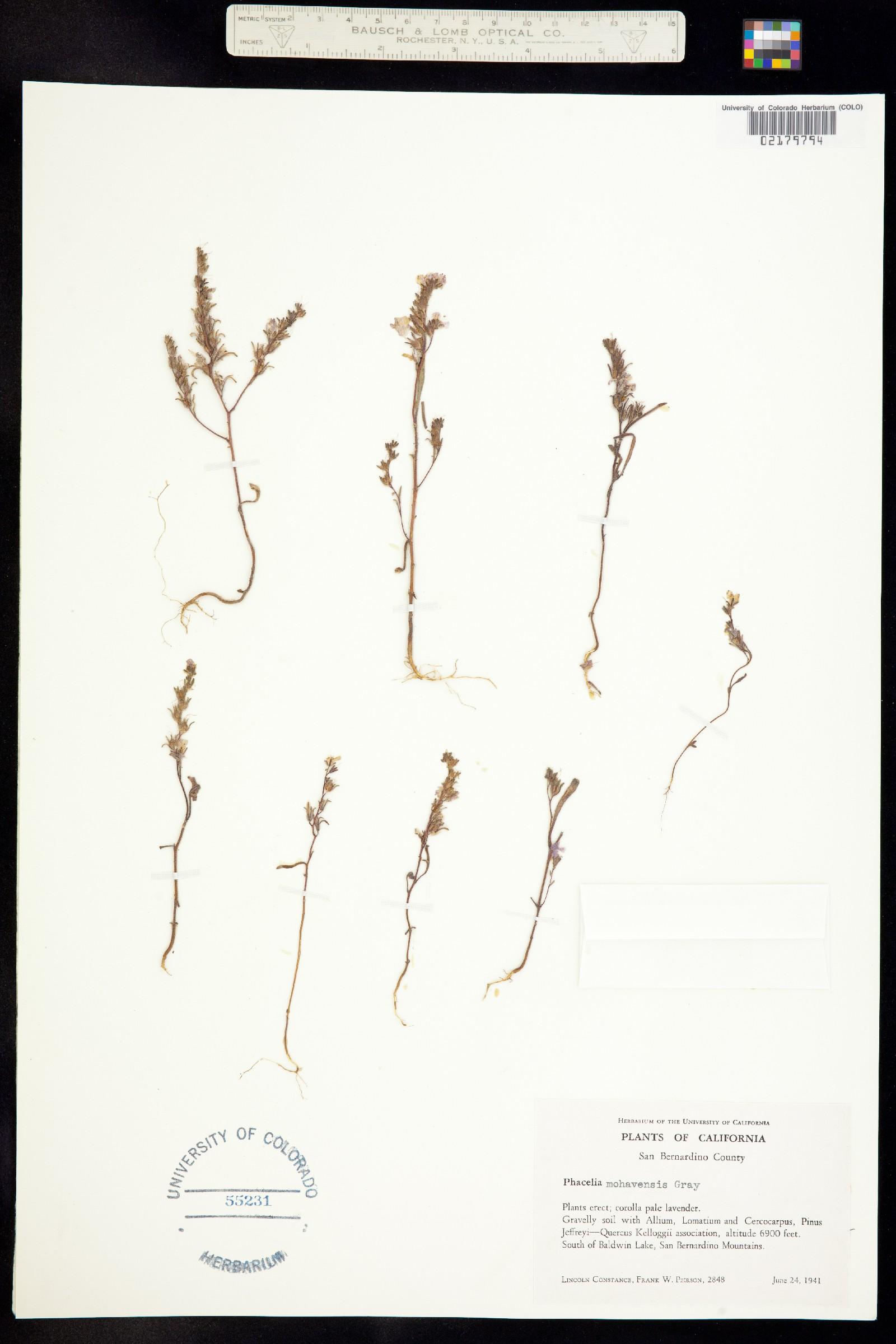 Phacelia mohavensis image