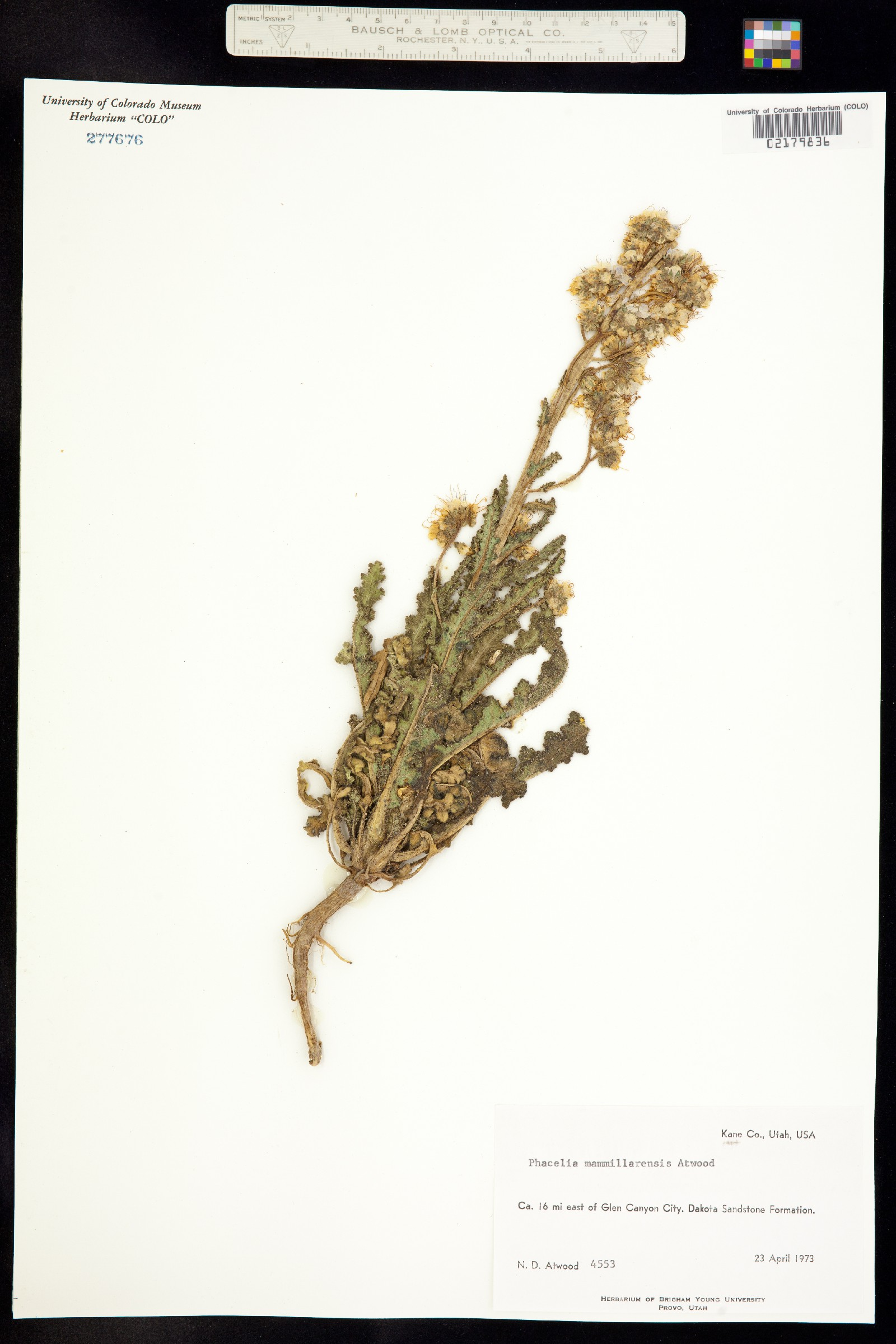 Phacelia mammillarensis image
