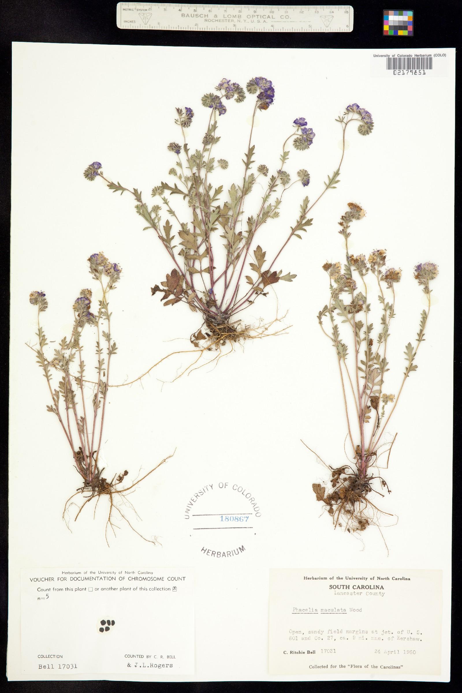 Phacelia maculata image