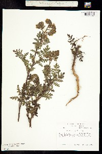 Image of Phacelia lyonii