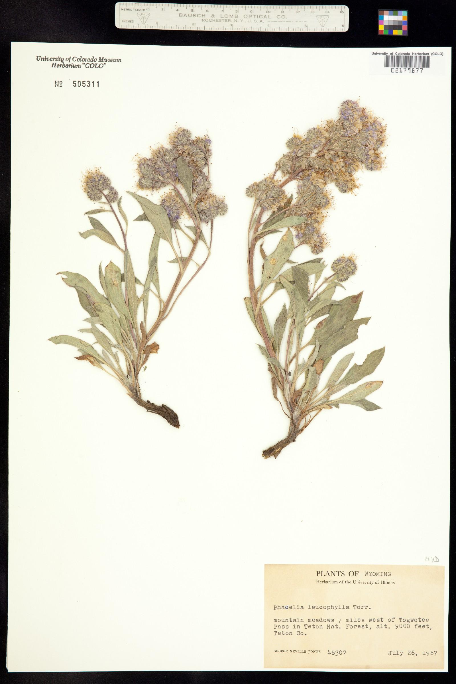 Phacelia hastata var. hastata image