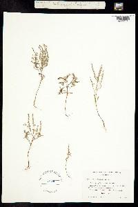 Image of Phacelia pringlei