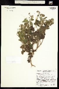 Phacelia scariosa image
