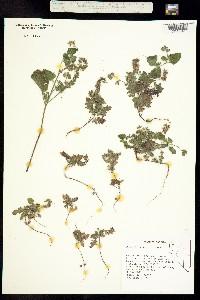 Phacelia rattanii image