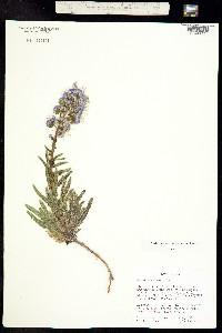 Image of Phacelia utahensis