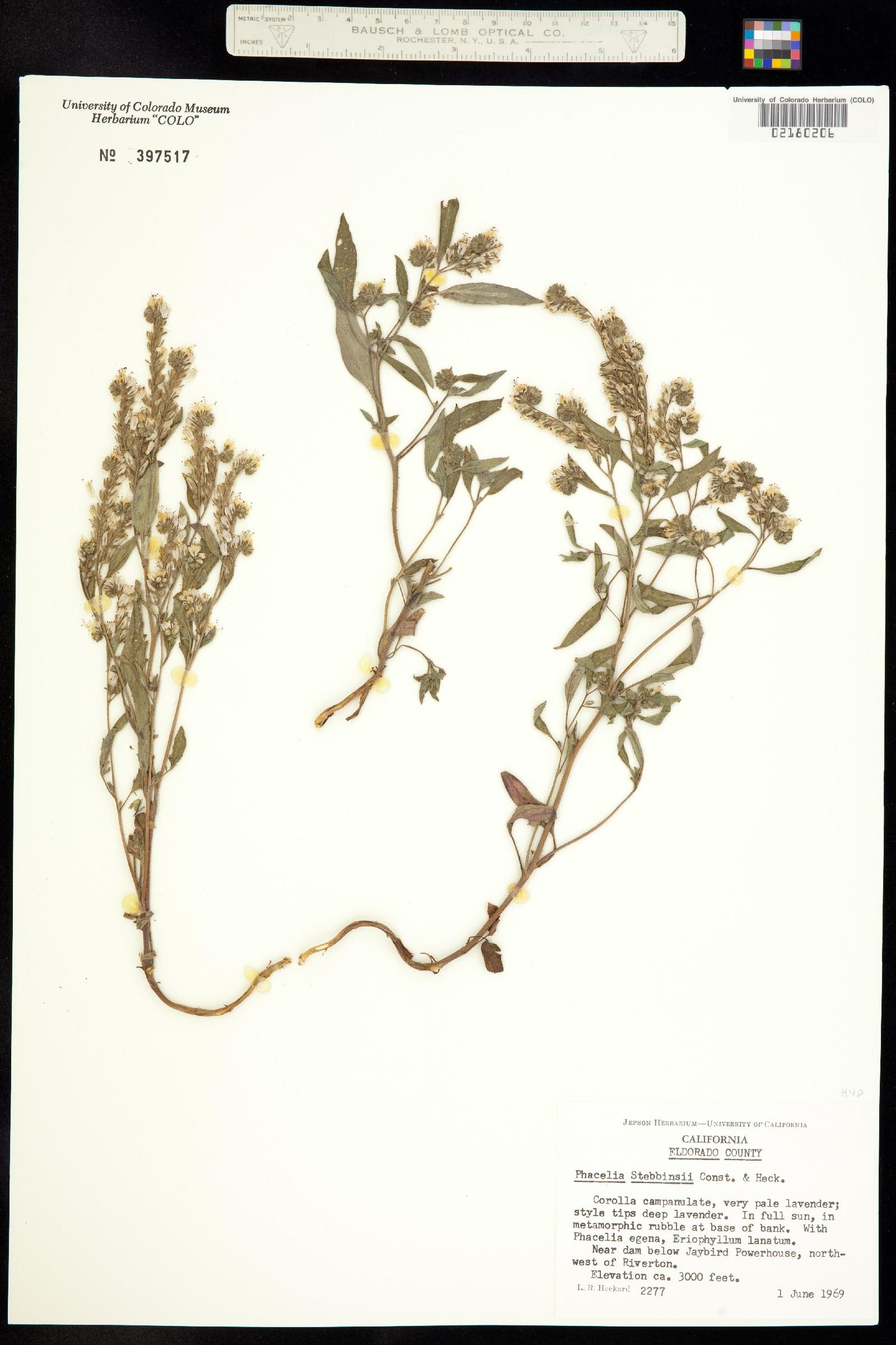 Phacelia stebbinsii image