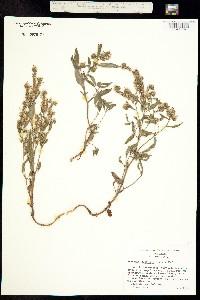 Image of Phacelia stebbinsii